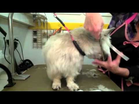 Puppy pawstons pet supplies and essentials dog grooming instructional video by robin lee mobile dog grooming annie part 2 cairn terrier solutioingenieria Choice Image